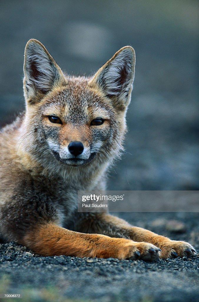 GRAY FOX (PSEUDALOPEX GRISEUS) RESTING IN ALPINE MEADOW : Stock Photo