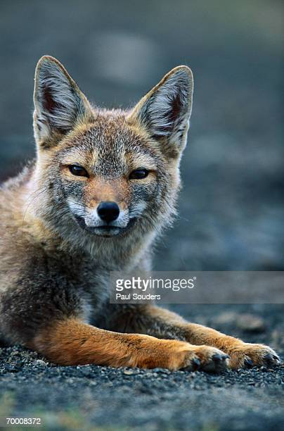 gray fox (pseudalopex griseus) resting in alpine meadow - gray fox stock photos and pictures