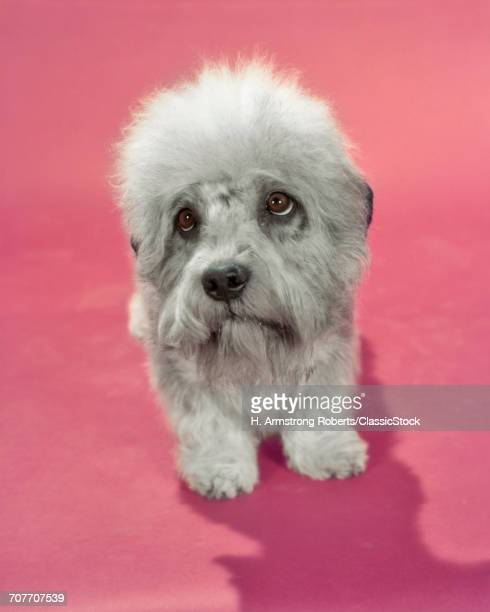 DANDIE DINMONT TERRIER DOG GRAY OR PEPPER COLORED SADLY LOOKING UP