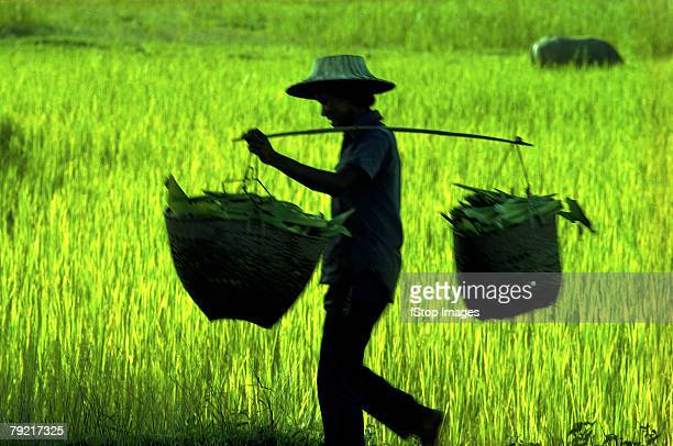 042003 - filipino farmer stock photos and pictures
