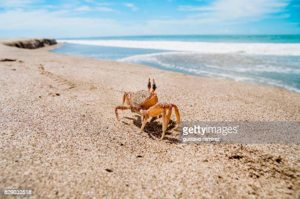 CRAB WATCHING THE SEA