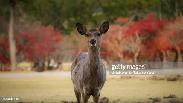 奈良の鹿 - christinayan ストックフォトと画像