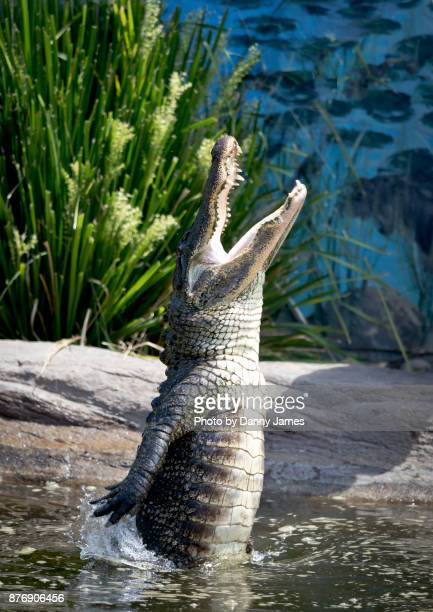 snap - alligator stock photos and pictures