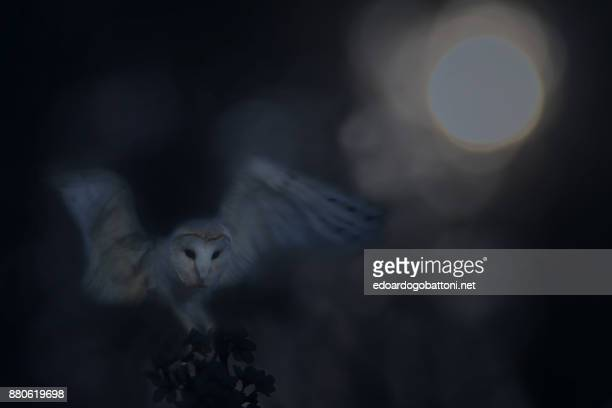 ghost of the night - barn owl stock pictures, royalty-free photos & images