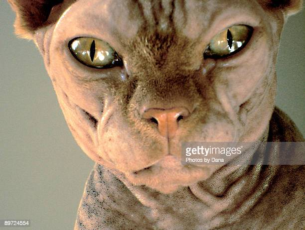 close up sphynx eyes and face - ugly cat stock photos and pictures