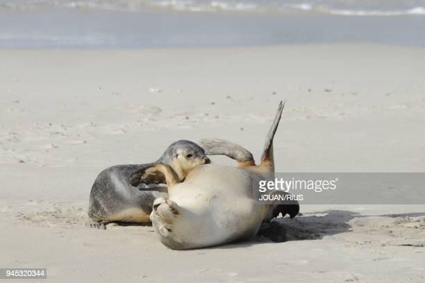 FEMALE NURSING YOUNG SEAL BAY CONSERVATION PARK KANGAROO ISLAND SOUTH AUSTRALIA AUSTRALIA