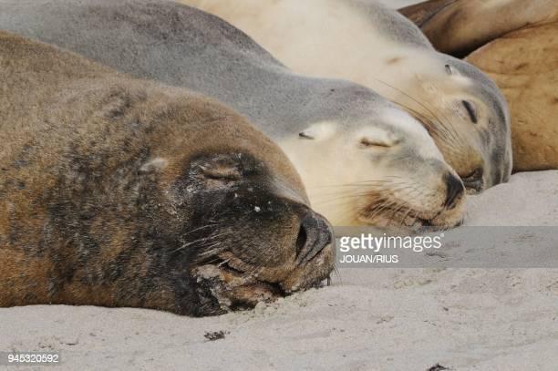 GROUP SEAL BAY CONSERVATION PARK KANGAROO ISLAND SOUTH AUSTRALIA AUSTRALIA