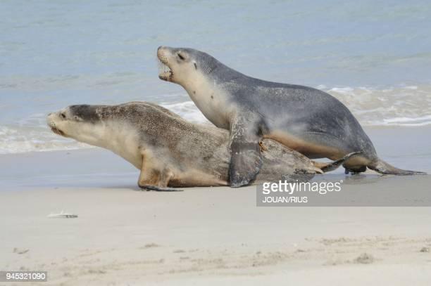 PLAYING SEAL BAY CONSERVATION PARK KANGAROO ISLAND SOUTH AUSTRALIA AUSTRALIA