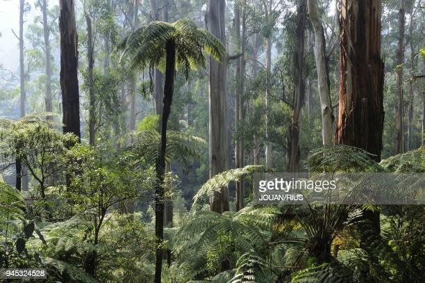 AND SOFT TREEFERNS TARRA BULGA NATIONAL PARK VICTORIA AUSTRALIA