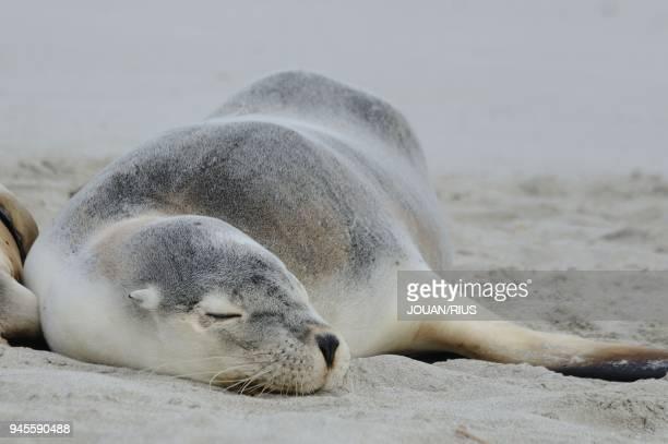 SEAL BAY CONSERVATION PARK KANGAROO ISLAND SOUTH AUSTRALIA AUSTRALIA
