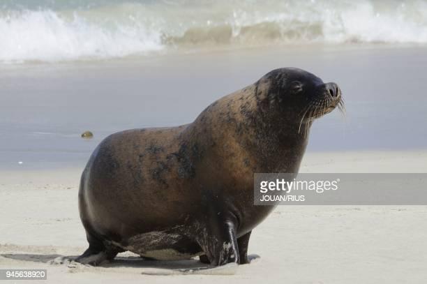 MALE SEAL BAY CONSERVATION PARK KANGAROO ISLAND SOUTH AUSTRALIA AUSTRALIA