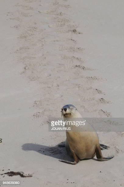 FEMALE SEAL BAY CONSERVATION PARK KANGAROO ISLAND SOUTH AUSTRALIA AUSTRALIA