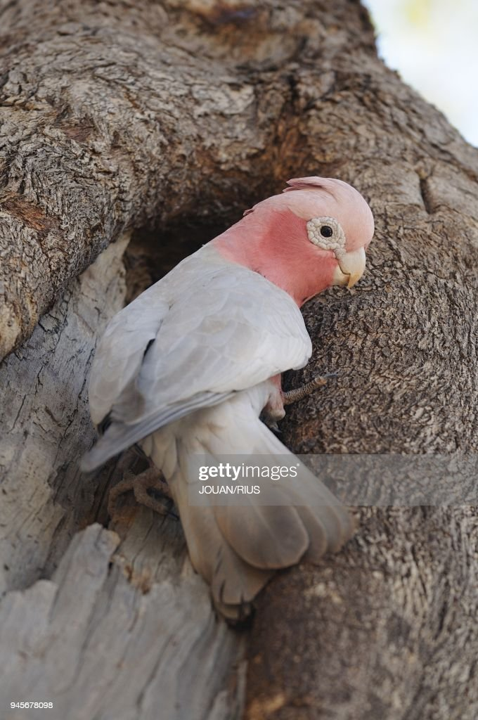 ROSE-BREASTED COCKATOO OR GALAH AT NEST, PILBARA REGION