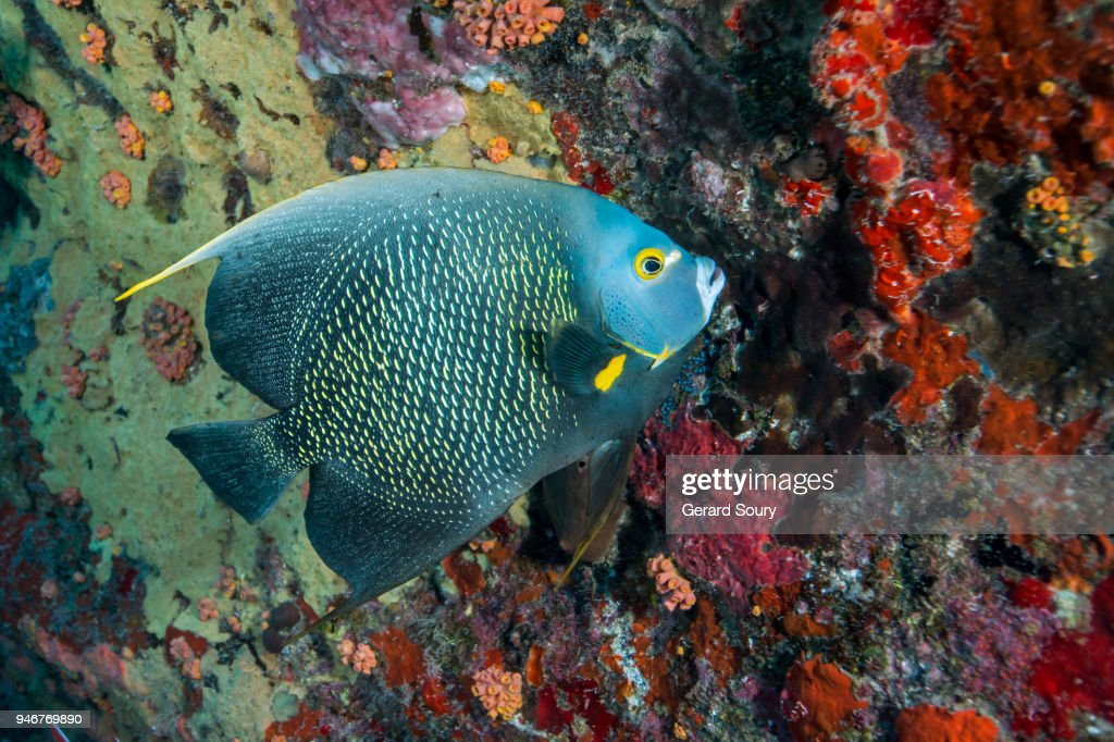 A FRENCH ANGELFISH SWIMMING ALONG THE CORAL REEF : ストックフォト