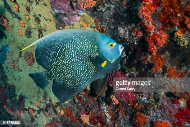 a french angelfish swimming along the coral reef - カリブ海オランダ領 ストックフォトと画像