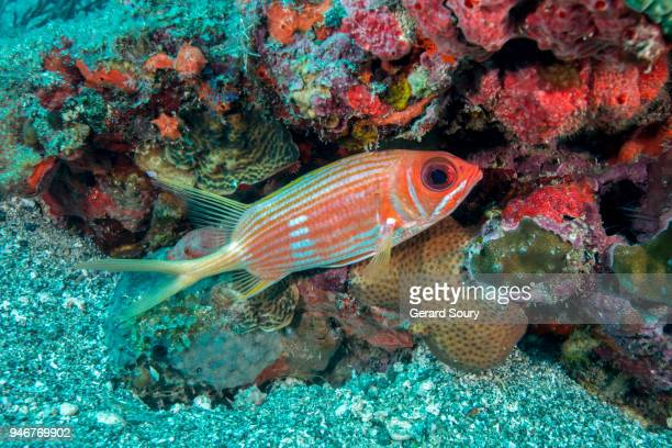 a longspine squirrelfish swimming along the coral reef - squirrel fish photos et images de collection