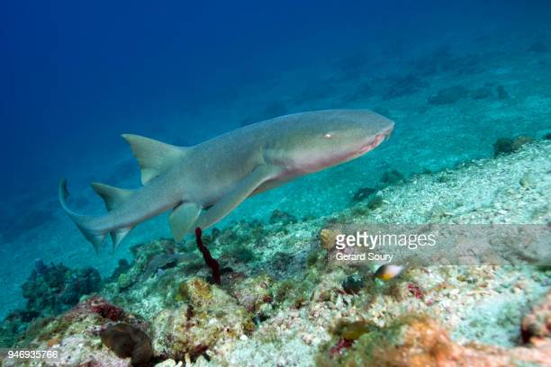a nurse shark swimming over the coral reef - nurse shark stock photos and pictures