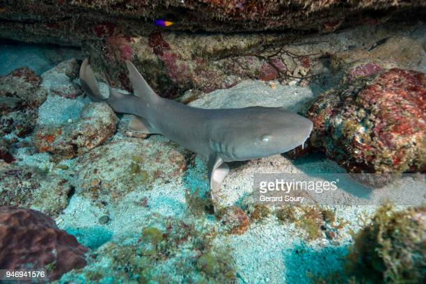a nurse shark getting out of its shelter - カリブ海オランダ領 ストックフォトと画像