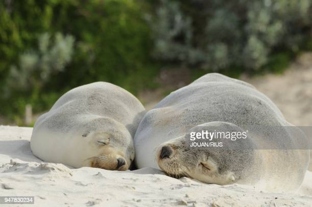 FEMALE WITH YOUNG SEAL BAY CONSERVATION PARK KANGAROO ISLAND SOUTH AUSTRALIA AUSTRALIA