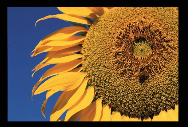 Abeille Sur Une Fleur De Tournesol Pictures Getty Images