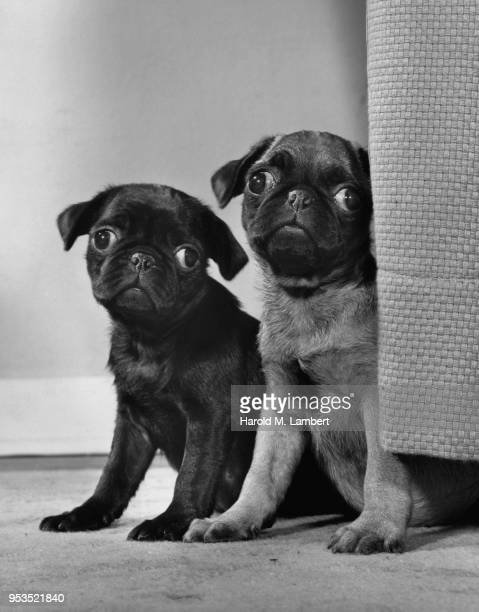 PUG DOGS SITTING AND LOOKING AWAY