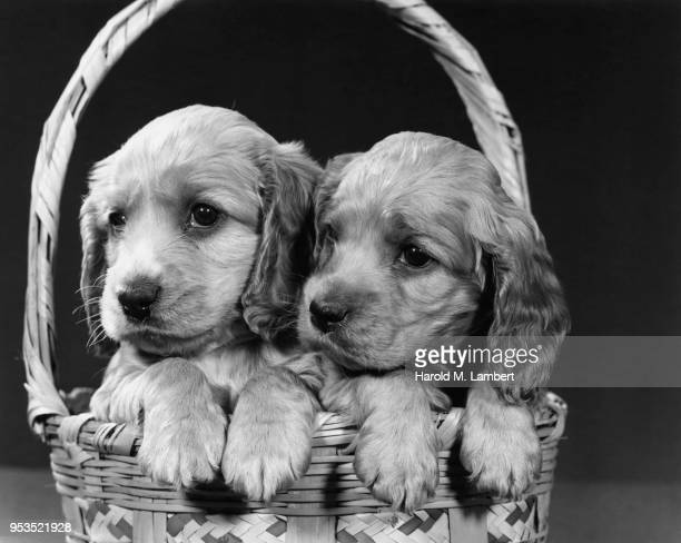 COCKER SPANIEL PUPPIES SITTING IN BASKET