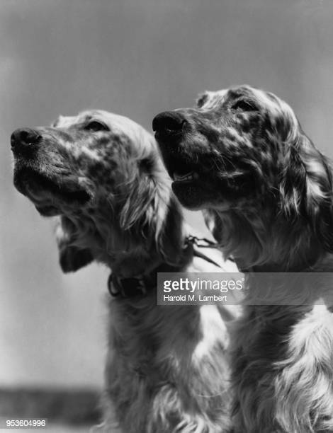 CLOSE-UP OF TWO DOGS LOOKING AWAY