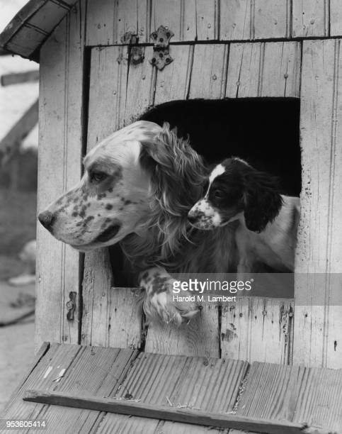 DOGS LOOKING THROUGH DOG HOUSE WINDOW