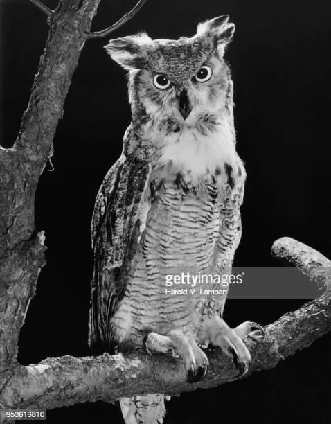 portrait owl perched tree branch