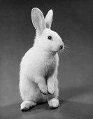 closeup rabbit looking away