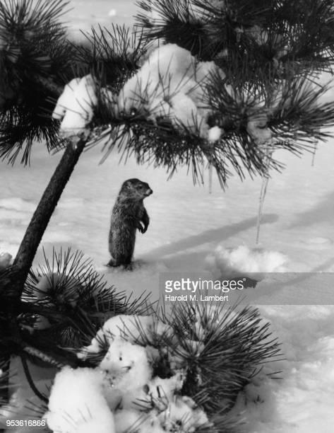 prairie dog standing snow