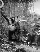gorillas forest