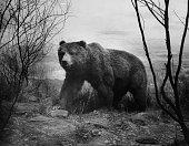 bear walking forest