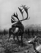 reindeers looking away forest