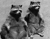 pair raccoons sitting together ground