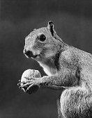 closeup squirrel holding walnut