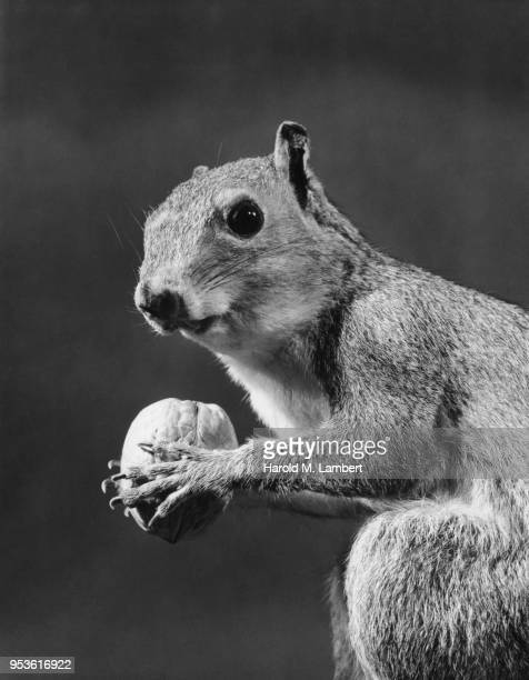 closeup squirrel holding walnut
