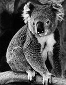 koala bear sitting eucalyptus tree branch