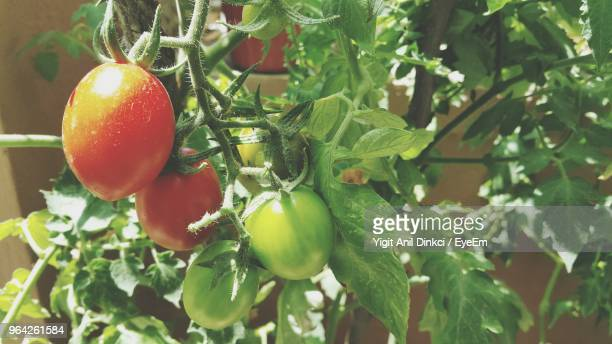 close-up of tomatoes growing in vegetable garden - plant de tomate photos et images de collection