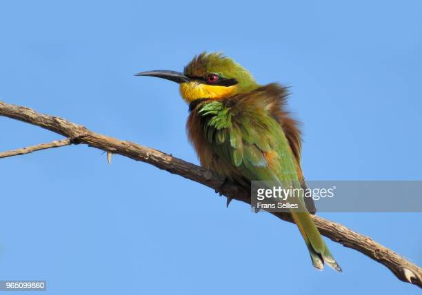 Little bee-eater (Merops pusillus) perching on branch, Bijilo Forest, Gambia