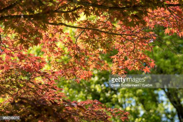 low angle view of maple leaves on tree - olivier schittenhelm photos et images de collection