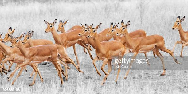 flee - springbok deer stock photos and pictures