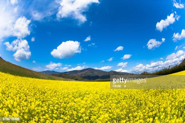 blue&yellow - 果樹の花 ストックフォトと画像
