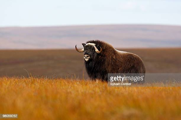 muskox - musk ox stock photos and pictures