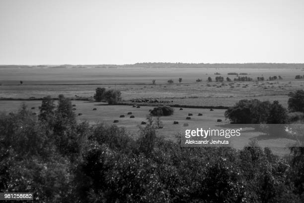 cows - jevhuta stock pictures, royalty-free photos & images