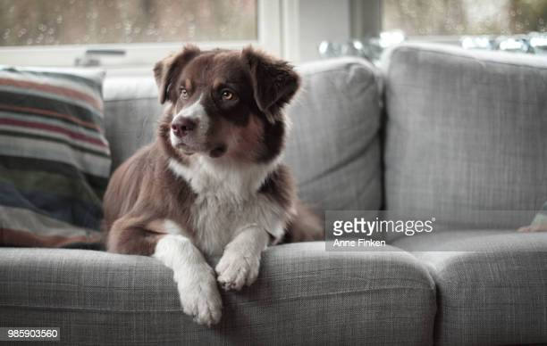 hailey - border collie stock pictures, royalty-free photos & images
