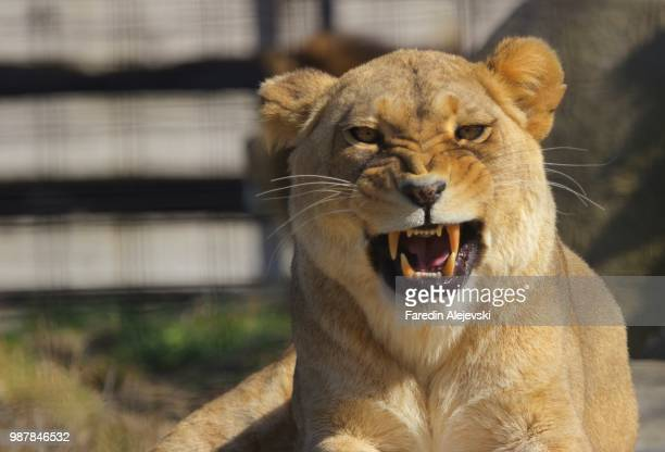 k 9 - lion attack stock pictures, royalty-free photos & images