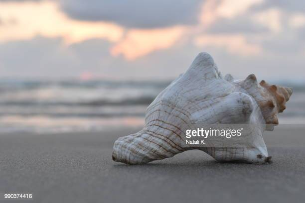 seashell at sunset.jpg - conch shell stock pictures, royalty-free photos & images