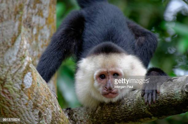 cr() - capuchin monkey stock pictures, royalty-free photos & images
