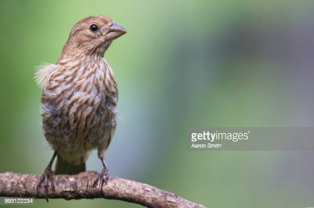 enjoying the breeze - house finch stock pictures, royalty-free photos & images